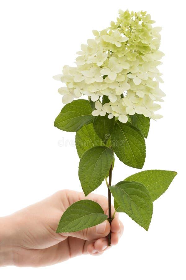 La mano di una donna tiene un fiore dell'ortensia, isolato su fondo bianco immagini stock