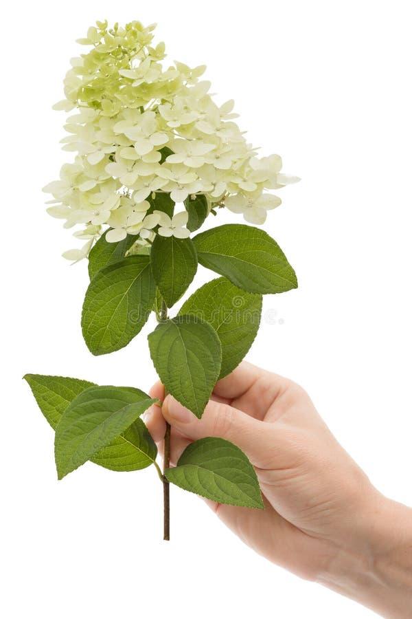 La mano di una donna tiene un fiore dell'ortensia, isolato su fondo bianco fotografia stock libera da diritti