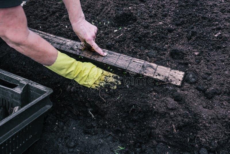 La mano femenina mide la distancia para plantar en la tierra Guante amarillo en la mano de una mujer Peque?os brotes verdes en fotografía de archivo libre de regalías