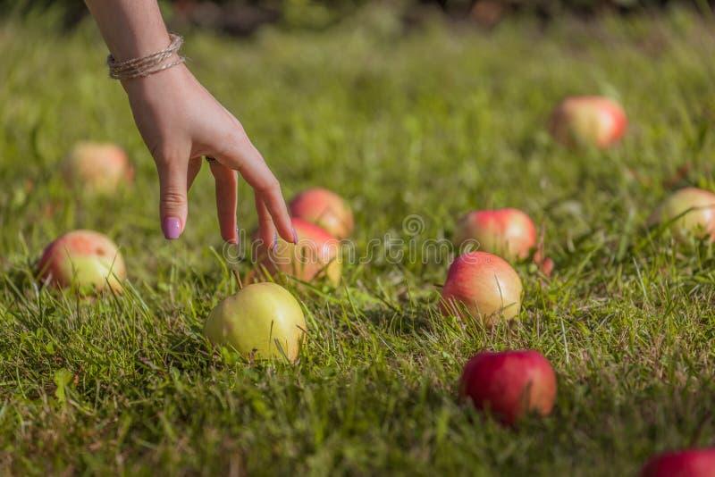 La mano femminile prende una mela che si trova sull'erba che seleziona la frutta fotografia stock libera da diritti