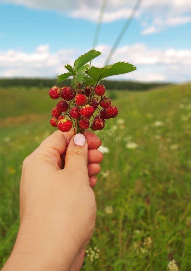 La mano femminile tiene un mazzo delle fragole di bosco selvatiche selvatiche, che si sviluppa nei burroni della Russia fotografia stock libera da diritti