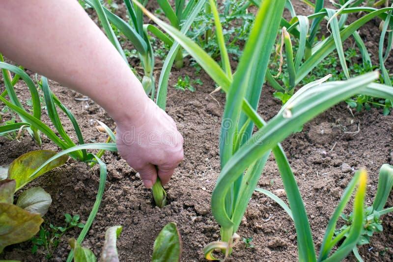 La mano femminile tira le cipolle dal giardino fotografia stock libera da diritti
