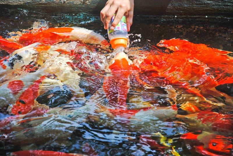 La mano guarda la botella de comida para alimentar las carpas, CARPA o carpa de la suposición, también conocida como carpa de luj fotografía de archivo