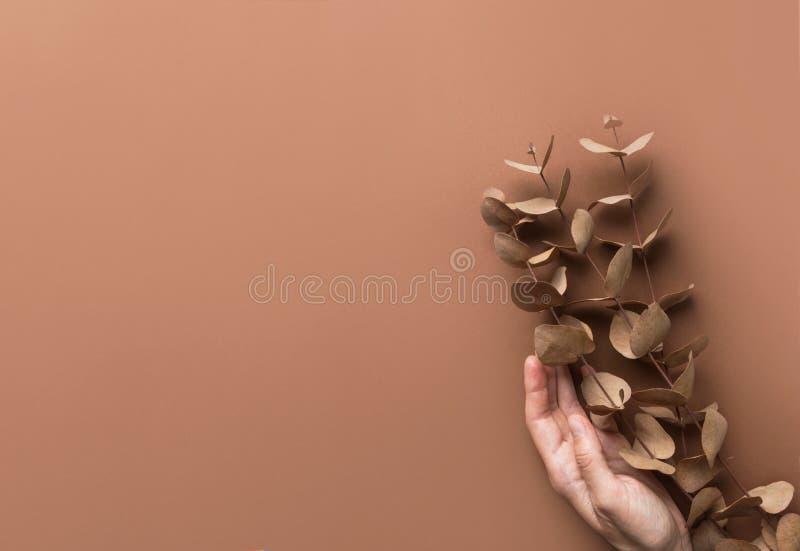La mano hermosa elegante de la mujer caucásica joven sostiene las ramitas de las ramas del eucalipto seco del dólar de plata Pale imagen de archivo