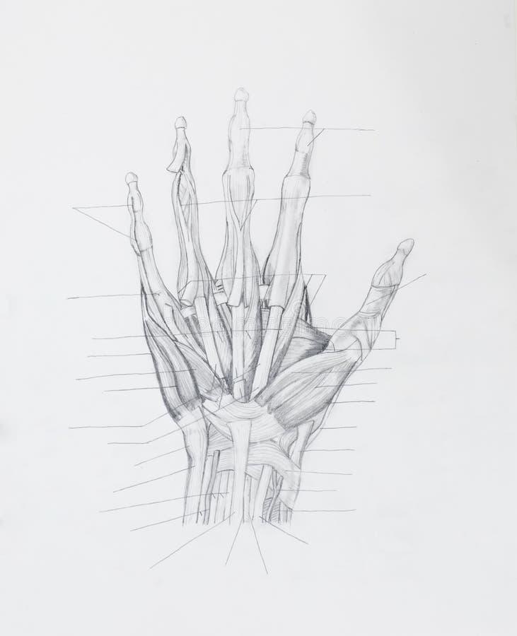 La mano muscles il disegno a matita dei tendini immagini stock libere da diritti