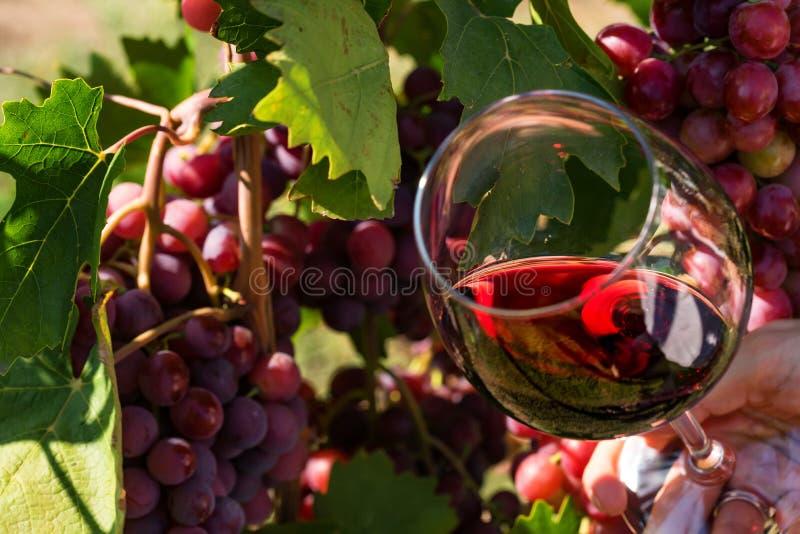 La mano sostiene el vidrio con el vino tinto al lado de las uvas en viñedo fotos de archivo