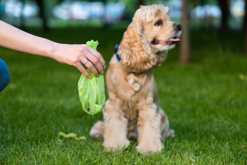 La mano tiene la borsa con la merda dell'animale domestico Prendere la poppa del cane immagini stock