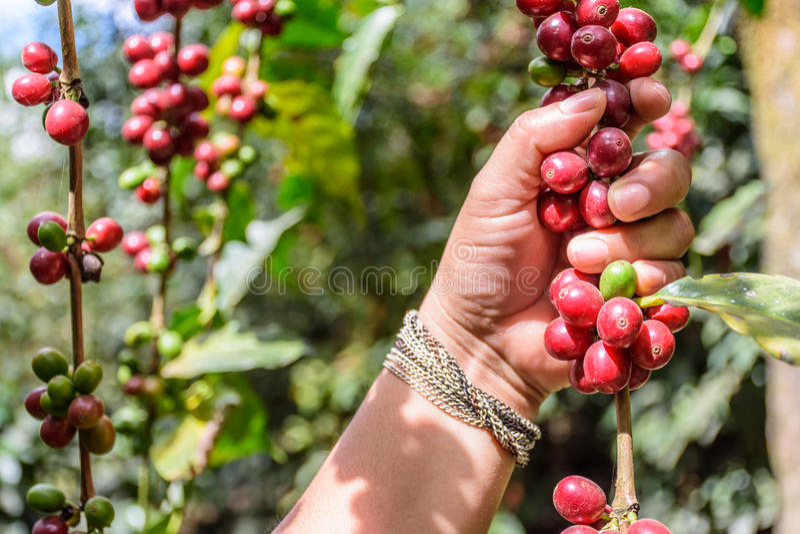 La mano tiene il ramo dei chicchi di caffè di maturazione, fotografia stock libera da diritti