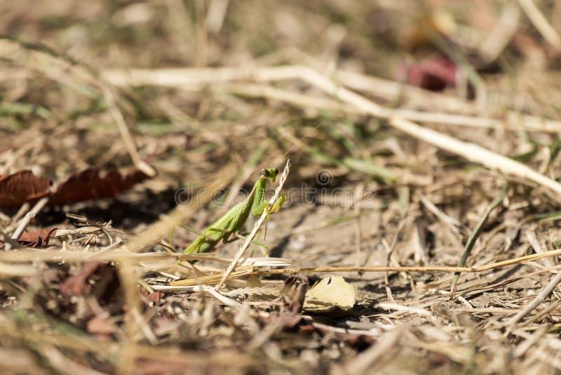 La mante de prière se repose parmi l'herbe sèche et défraîchie images libres de droits