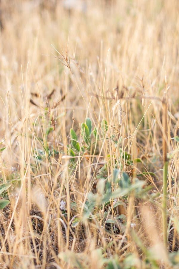 La mante européenne dans l'herbe jaune sèche photographie stock