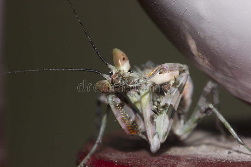 La mantis religiosa fotografía de archivo libre de regalías