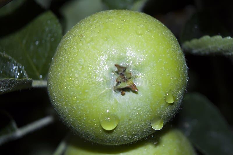 La manzana verde con las gotas de agua se cierra para arriba imagen de archivo