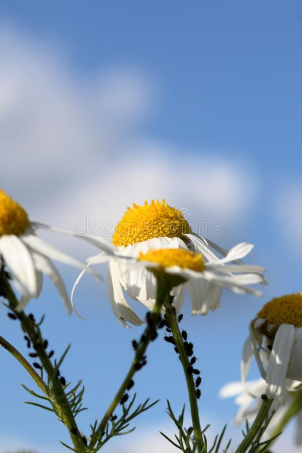 La manzanilla crece en el prado Contra el cielo azul Insectos funcionados con a lo largo del tallo Tirado de debajo imágenes de archivo libres de regalías