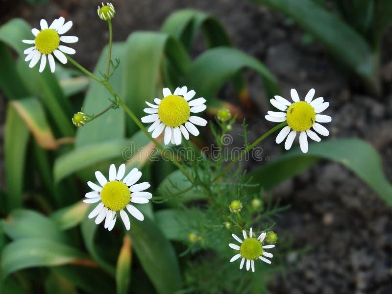 La manzanilla está floreciendo en el jardín fotografía de archivo libre de regalías