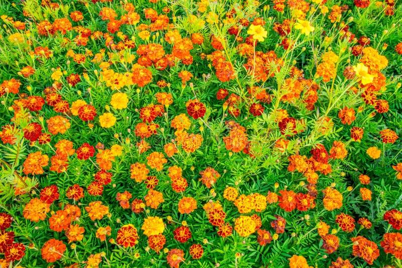 La Maravilla Amarilla Florece El Fondo, Campo De Flores De La ...