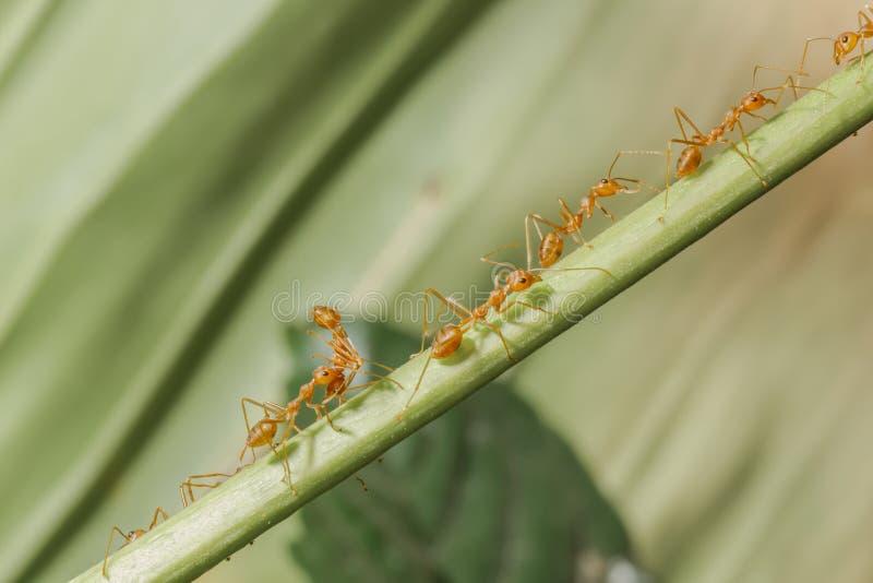 La marcha de hormigas rojas fotografía de archivo libre de regalías
