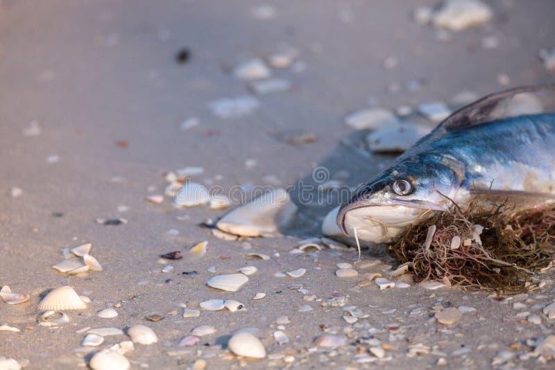 La marea roja hace pescados lavarse encima de muertos fotos de archivo libres de regalías