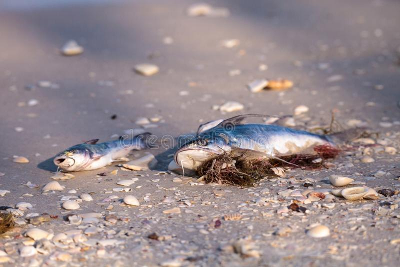 La marea roja hace pescados lavarse encima de muertos imagenes de archivo