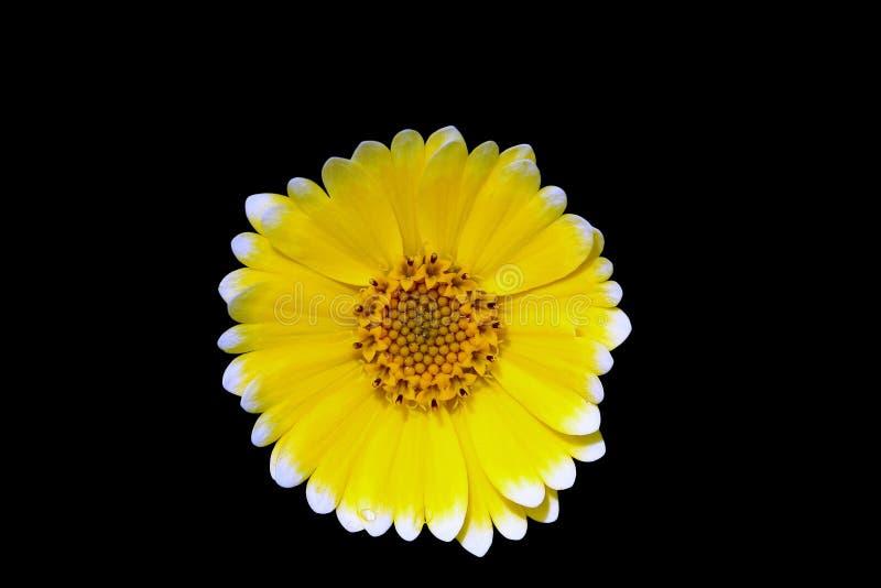 La margarita amarilla imagenes de archivo