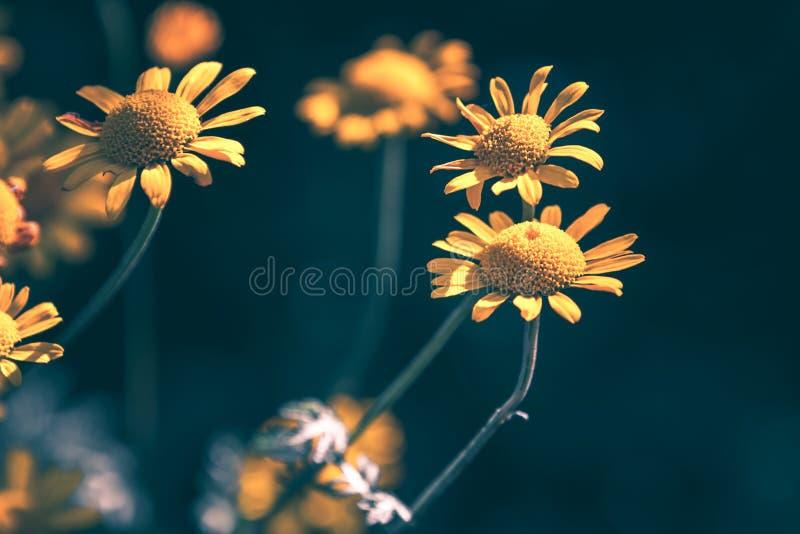 La margarita amarilla brillante florece, foto natural del primer imágenes de archivo libres de regalías