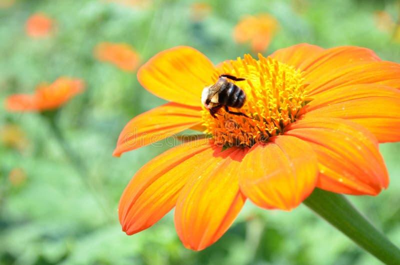 La margarita anaranjada con manosea la abeja fotografía de archivo