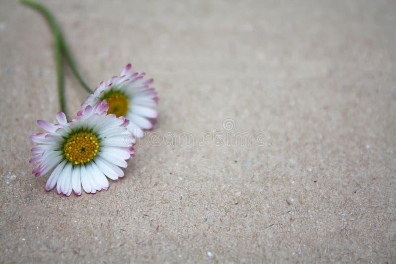 La margarita florece imagen de imagen vacía romántica del fondo de la cartulina foto de archivo libre de regalías