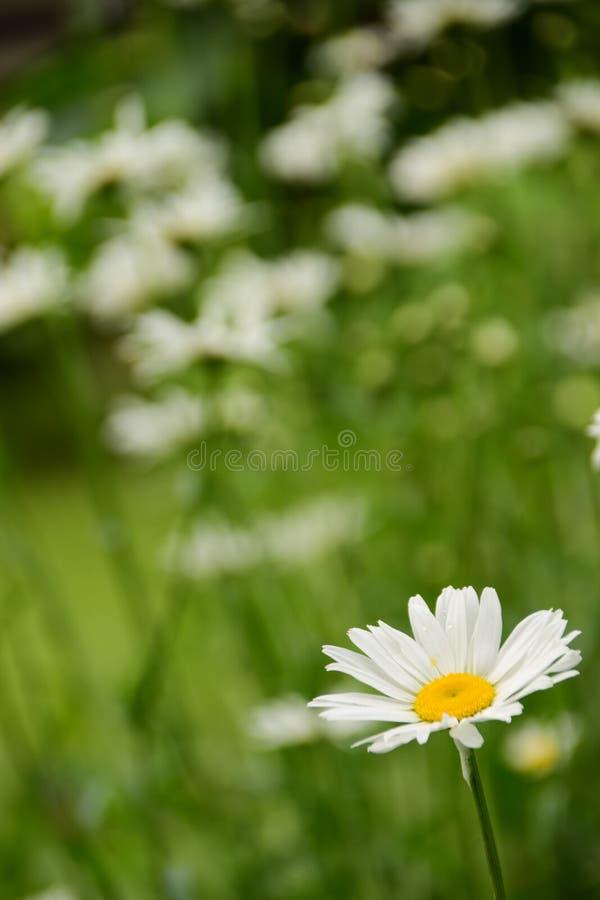 La margarita más hermosa del jardín imagen de archivo libre de regalías