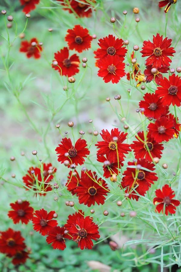 La margarita roja florece el fondo imagen de archivo
