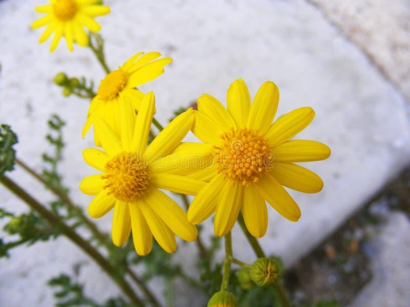 La margherita fiorisce marciapiedi fiori ornamentali for Fiori ornamentali