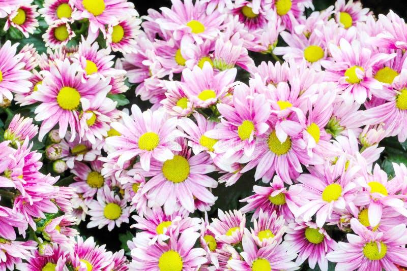 La margherita rosa e porpora del fondo del fiore della natura, fiorisce il blossomi fotografia stock libera da diritti
