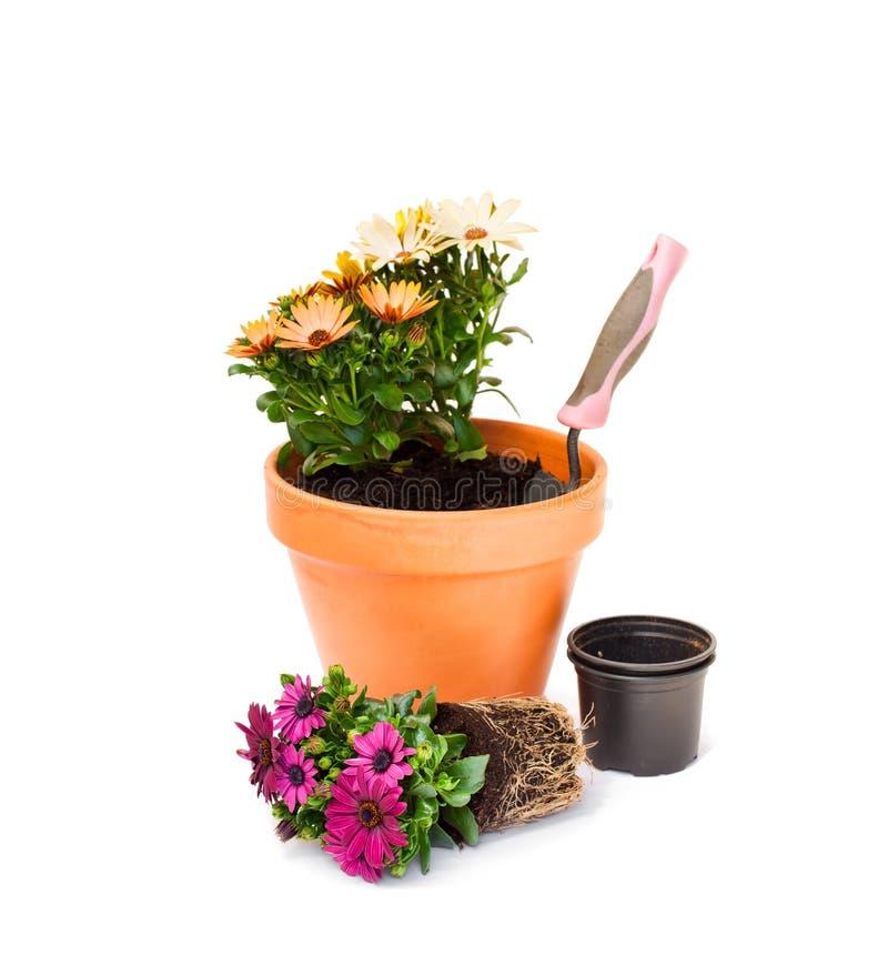 La marguerite colorée de cap fleurit prêt pour planter et le pot de fleurs est image libre de droits