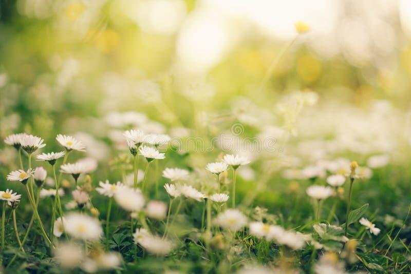 La marguerite de camomille fleurit à la lumière du soleil d'or chaude, foyer mou photo libre de droits