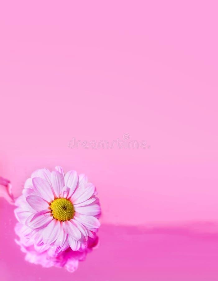 La marguerite fleurit le blanc sur le fond rose L'espace brouillé pour le texte photos libres de droits