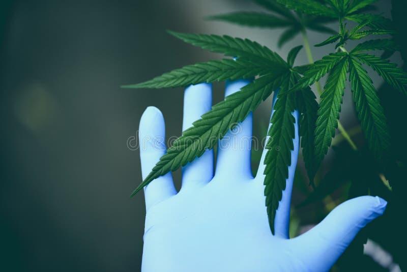 La marijuana de contact de main laisse l'arbre d'usine de cannabis s'élevant sur le fond/feuille verts de chanvre pour des soins  images stock