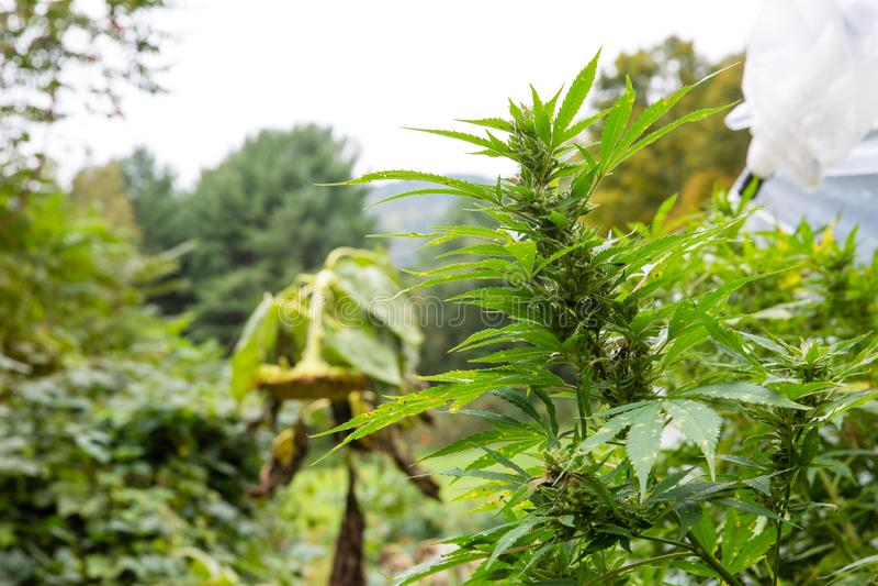 La marijuana juridique extérieure se développent Grand bourgeon prêt pour la série de cannabis de récolte de la graine à la vente image libre de droits
