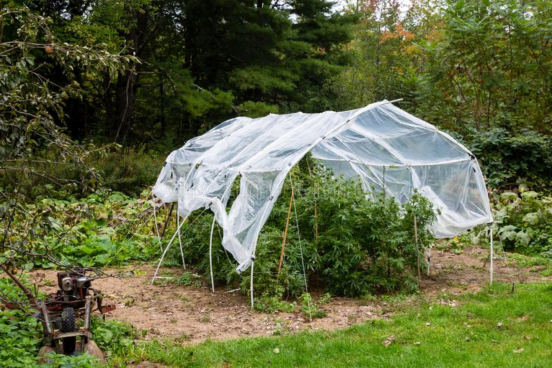 La marijuana legal al aire libre crece Las plantas por debajo un hogar hicieron la casa plástica del aro para proteger el cáñamo  imagen de archivo libre de regalías