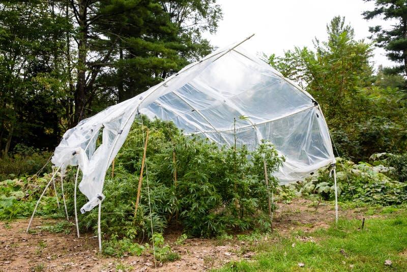 La marijuana legale all'aperto si sviluppa Le piante al di sotto di una casa hanno fatto la casa di plastica del cerchio per prot immagini stock