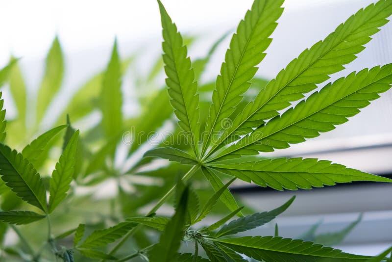 La marijuana se va, cáñamo en un fondo oscuro, fondo hermoso, cultivo interior Cáñamo de alta calidad Marijuana de la textura imágenes de archivo libres de regalías