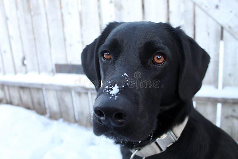 La marionnette essaie de suivre les parfums dans la neige photographie stock