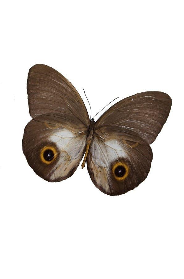 La mariposa 4 de Brown imagen de archivo libre de regalías