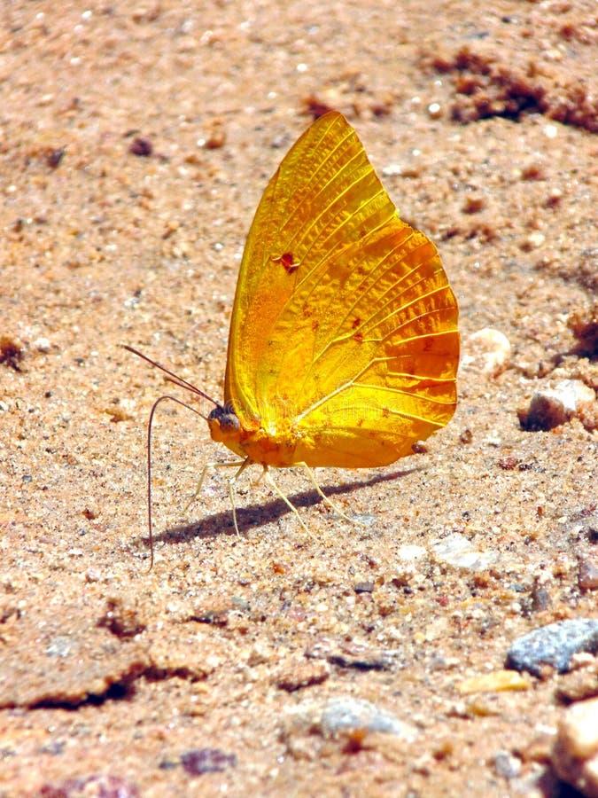 La mariposa amarilla fotografía de archivo