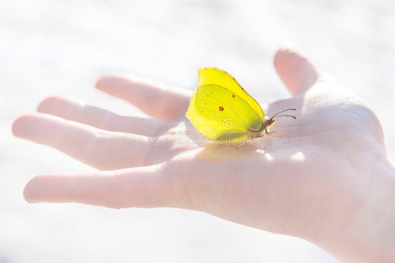 La mariposa amarilla de la primera primavera se sienta tranquilamente en el medio de la palma de un niño abierto foto de archivo