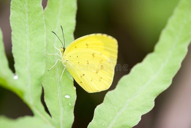 La mariposa amarilla llamó el hecabe de Eurema imagen de archivo