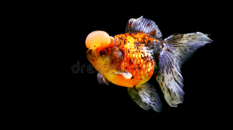 La mariposa amarra el pez de colores fotografía de archivo libre de regalías