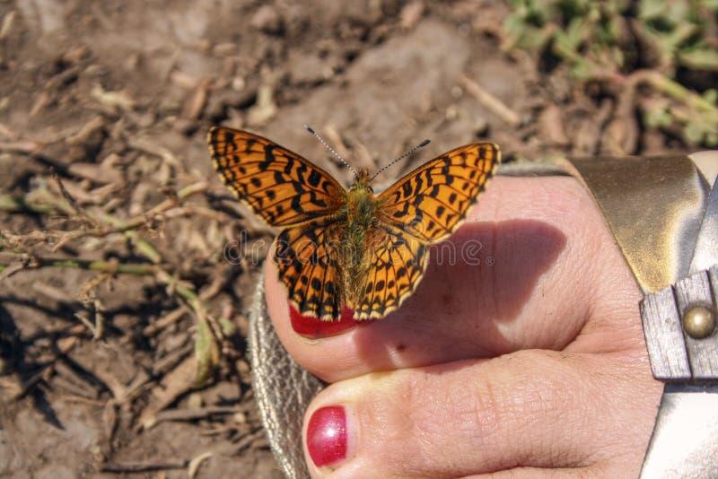 La mariposa anaranjada se sienta en los dedos del pie con el esmalte de uñas rojo imagen de archivo libre de regalías