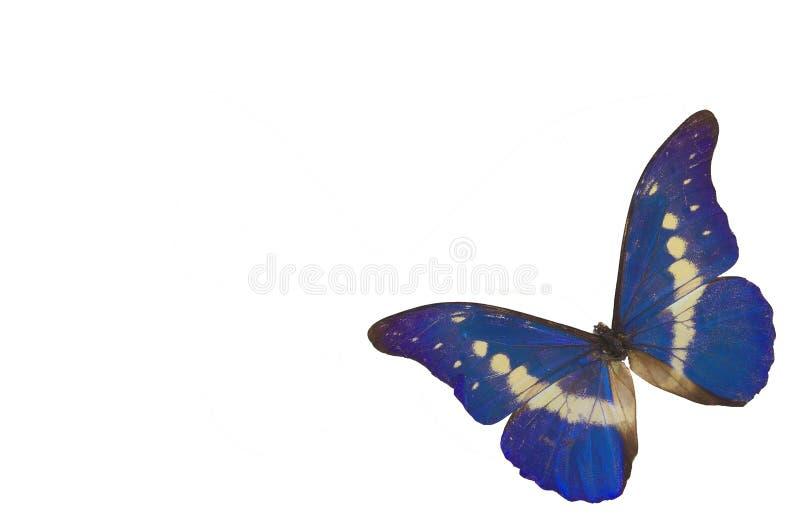 La mariposa azul 4 fotos de archivo