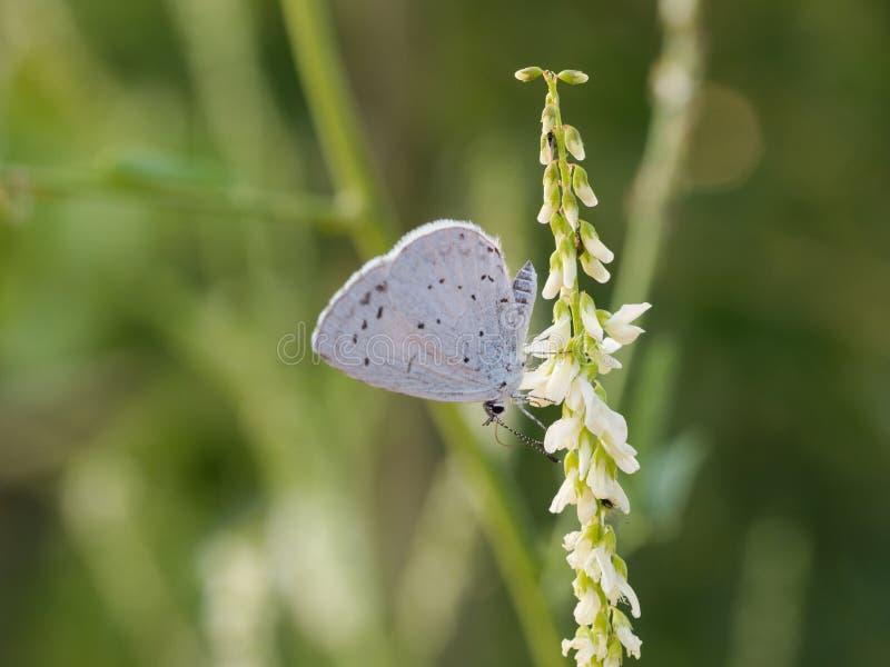 La mariposa azul del argiolus de Celastrina del acebo fotos de archivo libres de regalías