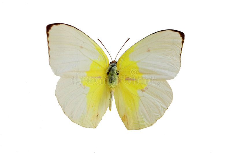 La mariposa blanca 1 foto de archivo libre de regalías