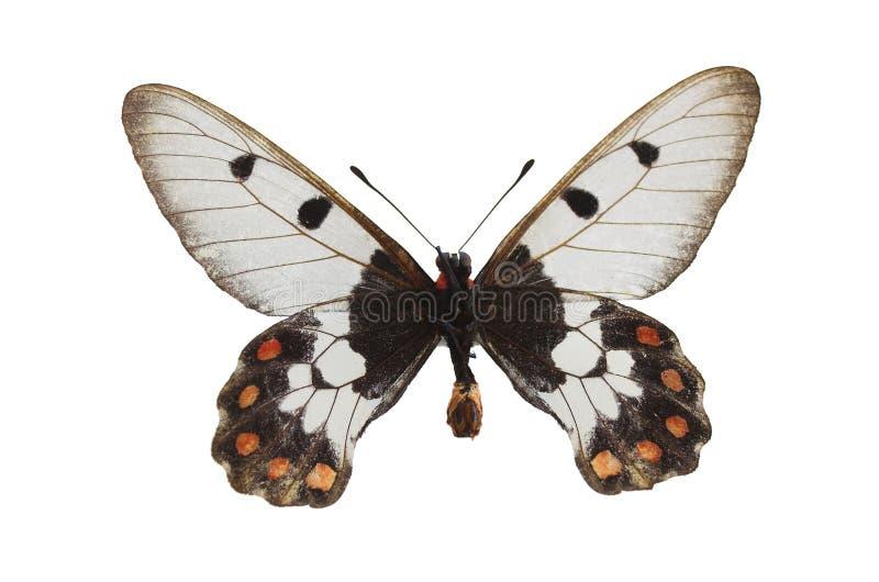 La mariposa blanca 4 foto de archivo