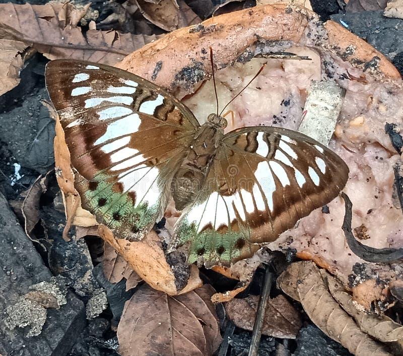 La mariposa blanca, verde, broncea en fruta quebrada imagen de archivo